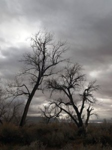 8525477-a-pair-of-cottonwood-trees-on-a-cloudy-winter-day